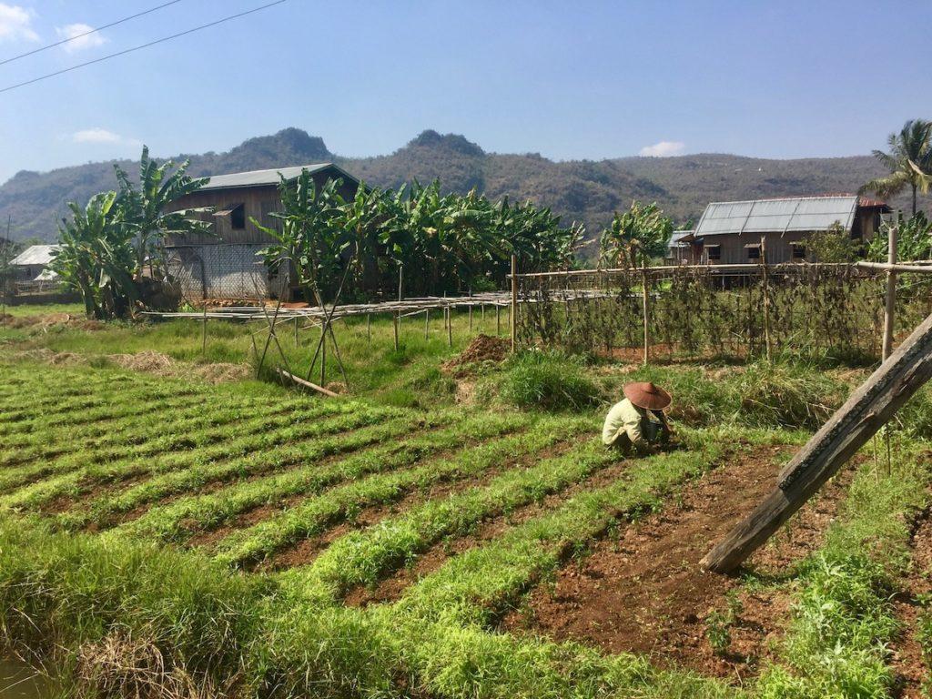 גידולים מקומיים מחוץ לקאלאו